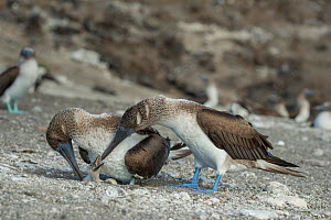 Blue-footed booby (Sula nebouxii), pair at nest with chick. Punta Vicente Roca, Isabela Island, Galapagos.  -  Tui De Roy