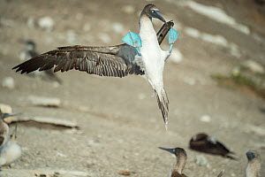 Blue-footed booby (Sula nebouxii) landing with feet up. Punta Vicente Roca, Isabela Island, Galapagos.  -  Tui De Roy