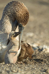 Blue-footed booby (Sula nebouxii) with chick at nest. Punta Vicente Roca, Isabela Island, Galapagos.  -  Tui De Roy