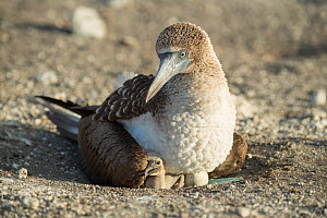 Blue-footed booby (Sula nebouxii) on nest with chick and egg, in morning light. Punta Vicente Roca, Isabela Island, Galapagos.  -  Tui De Roy