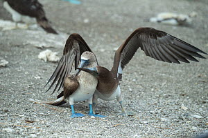 Blue-footed booby (Sula nebouxii), adult with begging chick. Punta Vicente Roca, Isabela Island, Galapagos.  -  Tui De Roy