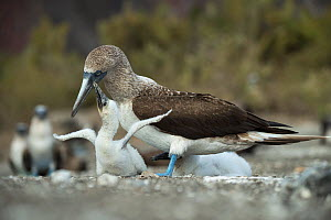 Blue-footed booby (Sula nebouxii), adult with begging chick. Punta Vicente Roca, Isabela Island, Galapagos  -  Tui De Roy