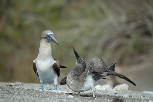 Blue-footed booby (Sula nebouxii), adult standing besides begging chick. Punta Vicente Roca, Isabela Island, Galapagos.  -  Tui De Roy