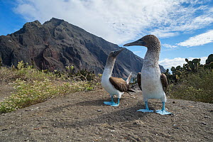 Blue-footed booby (Sula nebouxii) pair billing on coast. Punta Vicente Roca, Isabela Island, Galapagos. December 2016.  -  Tui De Roy