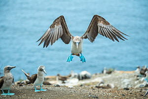 Blue-footed booby (Sula nebouxii) landing amongst others in colony. Punta Vicente Roca, Isabela Island, Galapagos.  -  Tui De Roy