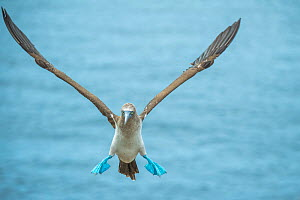Blue-footed booby (Sula nebouxii) coming in to land. Punta Vicente Roca, Isabela Island, Galapagos. - Tui De Roy
