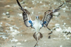 Blue-footed booby (Sula nebouxii) landing. Punta Vicente Roca, Isabela Island, Galapagos.  -  Tui De Roy