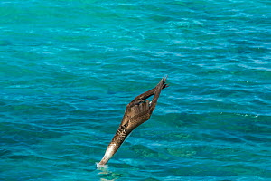 Blue-footed booby (Sula nebouxii) diving into sea, wings folded. Northeast coast, Santiago Island, Galapagos. Sequence 1/2.  -  Tui De Roy