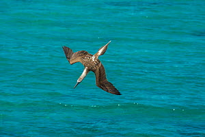 Blue-footed booby (Sula nebouxii) diving towards sea, folding wings. Northeast coast, Santiago Island, Galapagos. Sequence 1/2. - Tui De Roy