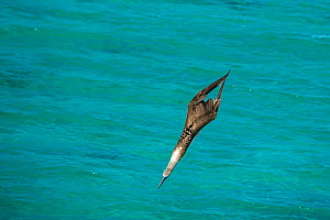 Blue-footed booby (Sula nebouxii) diving towards sea, wings folded. Northeast coast, Santiago Island, Galapagos. Sequence 2/2. - Tui De Roy
