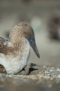 Blue-footed booby (Sula nebouxii) with chick on nest. Punta Vicente Roca, Isabela Island, Galapagos.  -  Tui De Roy