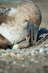 Blue-footed booby (Sula nebouxii) on nest with chick and egg. Punta Vicente Roca, Isabela Island, Galapagos.  -  Tui De Roy