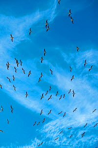 Blue-footed booby (Sula nebouxii) flock in flight. Punta Vicente Roca, Isabel Island, Galapagos.  -  Tui De Roy