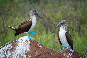 Blue-footed booby (Sula nebouxii) pair standing on rocks. Seymour Island, Galapagos. - Tui De Roy