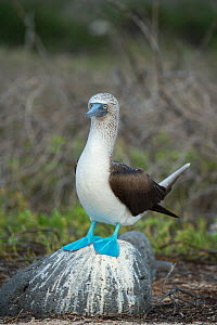 Blue-footed booby (Sula nebouxii) standing on rock. Seymour Island, Galapagos. - Tui De Roy