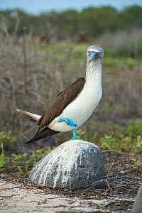 Blue-footed booby (Sula nebouxii) standing on rock on one leg. Seymour Island, Galapagos. - Tui De Roy