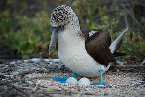 Blue-footed booby (Sula nebouxii) with two eggs, on nest. Seymour Island, Galapagos.  -  Tui De Roy