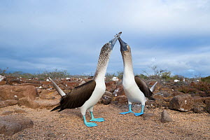 Blue-footed booby (Sula nebouxii), pair billing. Seymour Island, Galapagos.  -  Tui De Roy