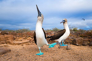 Blue-footed booby (Sula nebouxii), pair in courtship. Seymour Island, Galapagos.  -  Tui De Roy