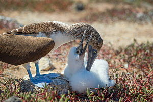Blue-footed booby (Sula nebouxii) with chick. Santa Cruz Island, Galapagos.  -  Tui De Roy