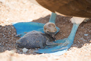 Blue-footed booby (Sula nebouxii), chick sheltering in shade between parent's feet. Santa Cruz Island, Galapagos.  -  Tui De Roy