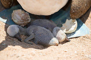 Blue-footed booby (Sula nebouxii), two chicks in shade cast below parent. Santa Cruz Island, Galapagos.  -  Tui De Roy
