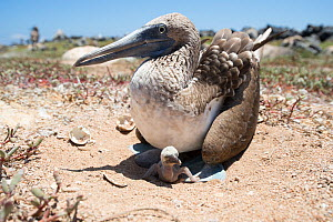 Blue-footed booby (Sula nebouxii) on nest with chick. Santa Cruz Island, Galapagos. - Tui De Roy