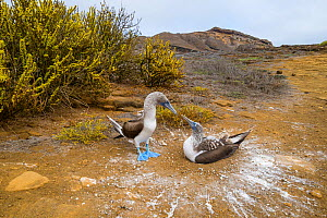 Blue-footed booby (Sula nebouxii), pair looking at each other, at nest. Punta Pitt, San Cristobal Island, Galapagos. April 2016. - Tui De Roy