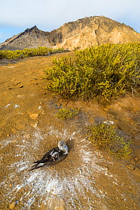 Blue-footed booby (Sula nebouxii) sitting on nest with hill in background. Circle of guano around nest. Punta Pitt, San Cristobal Island, Galapagos. April 2016. - Tui De Roy