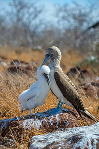 Blue-footed booby (Sula nebouxii), adult with chick. Seymour Island, Galapagos.  -  Tui De Roy