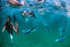 Blue-footed booby (Sula nebouxii), group fishing underwater. Itabaca Channel, Santa Cruz Island, Galapagos. - Tui De Roy
