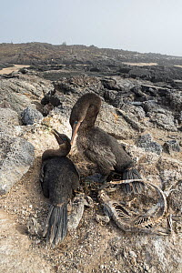 Flightless cormorant (Phalacrocorax harrisi) pair at nest. Galapagos marine iguana (Amblyrhynchus cristatus) carcasses surrounding nest. El Nino resulted in starvation of iguanas. Cape Douglas, Fernan... - Tui De Roy