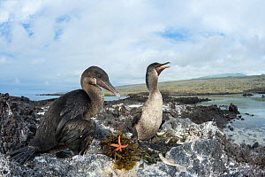 Flightless cormorant (Phalacrocorax harrisi), pair at nest. Nest includes Seaweed, Sea urchins (Echinoidea) and Starfish (Asteroidea). Punta Albemarle, Isabela Island, Galapagos. - Tui De Roy