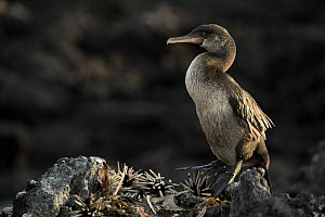 Flightless cormorant (Phalacrocorax harrisi) with Slate pencil urchins (Eucidaris sp). Punta Albemarle, Isabela Island, Galapagos. - Tui De Roy
