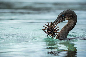 Flightless cormorant (Phalacrocorax harrisi) swimming with Slate pencil urchin (Eucidaris sp) in beak. Punta Albemarle, Isabela Island, Galapagos. - Tui De Roy