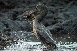 Flightless cormorant (Phalacrocorax harrisi) with Slate pencil urchin (Eucidaris sp) in beak. Punta Albemarle, Isabela Island, Galapagos. - Tui De Roy