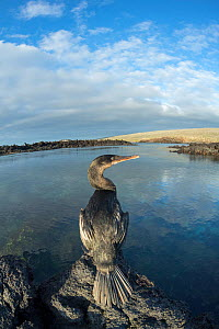 Flightless cormorant (Phalacrocorax harrisi) perched on rock overlooking inlet. Punta Albemarle, Isabela Island, Galapagos.  -  Tui De Roy