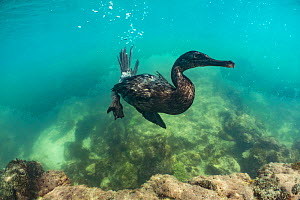 Flightless cormorant (Phalacrocorax harrisi), 'Clearwater Bay', Isabela Island, Galapagos  -  Tui De Roy
