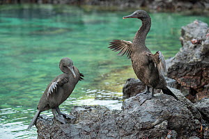 Flightless cormorant (Phalacrocorax harrisi), two drying wings on rock. Clearwater Bay, Isabela Island, Galapagos.  -  Tui De Roy