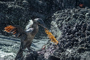 Flightless cormorant (Phalacrocorax harrisi) coming ashore with nesting material, water spray in air. Punta Gavilanes, Fernandina Island, Galapagos.  -  Tui De Roy