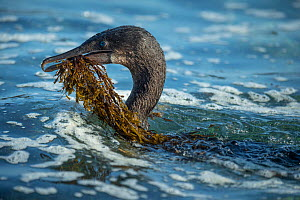 Flightless cormorant (Phalacrocorax harrisi) swimming with nesting material in beak. Cape Douglas, Fernandina Island, Galapagos.  -  Tui De Roy