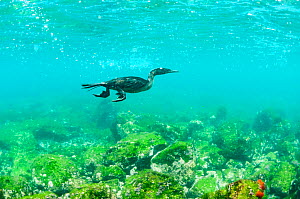 Flightless cormorant (Phalacrocorax harrisi) swimming underwater. Cape Douglas, Fernandina Island, Galapagos.  -  Tui De Roy