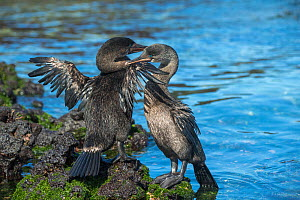 Flightless cormorant (Phalacrocorax harrisi) pair at water's edge. One nibbling wings of the other. Cape Douglas, Fernandina Island, Galapagos.  -  Tui De Roy