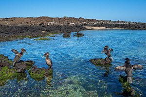 Flightless cormorant (Phalacrocorax harrisi), four on volcanic rocks in sea, three drying wings. Cape Douglas, Fernandina Island, Galapagos. February 2017.  -  Tui De Roy