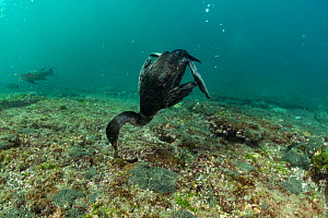 Flightless cormorant (Phalacrocorax harrisi) feeding on sea floor. Tagus Cove, Isabela Island, Galapagos.  -  Tui De Roy