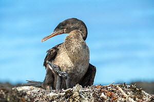 Flightless cormorant (Phalacrocorax harrisi) on nest with two chicks. Base Bolivar, Beagle Crater, Isabela Island, Galapagos.  -  Tui De Roy