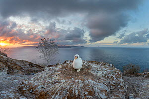 Nazca booby (Sula granti) sitting on nest with egg, overlooking sea at sunset. Gardner Islet, Floreana Island, Galapagos. December 2014. - Tui De Roy