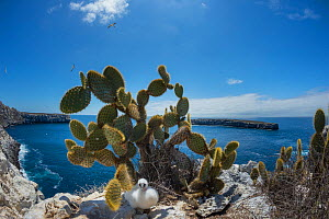 Nazca booby (Sula granti) chick under Prickly pear cactus (Opuntia sp) on cliff. Wolf Island, Galapagos. August 2016. - Tui De Roy