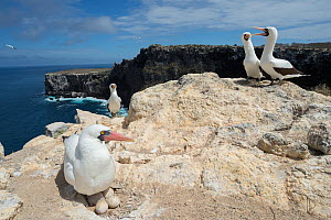 Nazca booby (Sula granti) sitting on eggs in nest with other boobies in background. On cliff, Wolf Island, Galapagos. August 2016. - Tui De Roy