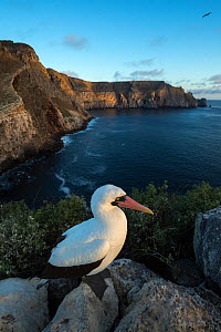 Nazca booby (Sula granti) on coastal rocks at dusk. Wolf Island, Galapagos. August 2018. - Tui De Roy